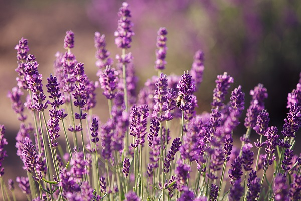 bigstock-Lavender-flowers-in-the-field-53284585