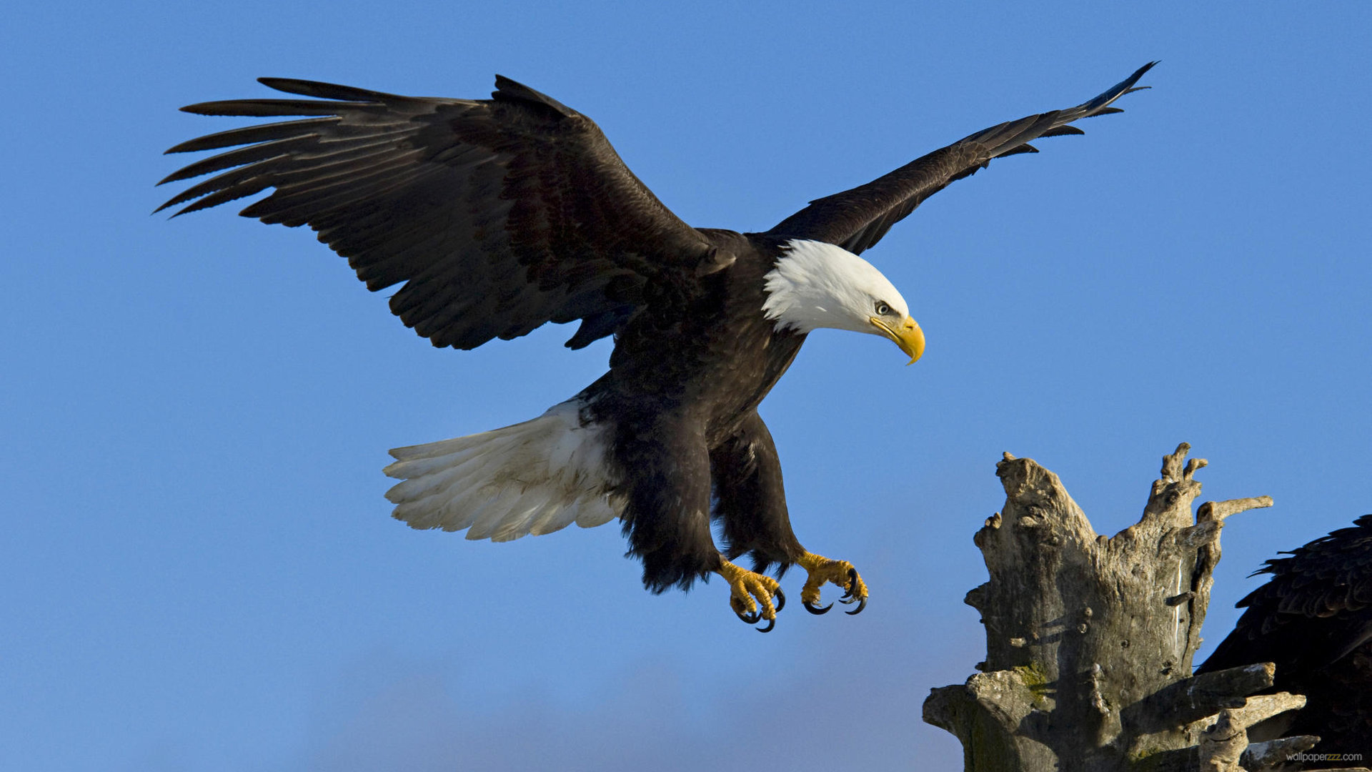 Eagle-13-Wallpaper-Background-Hd