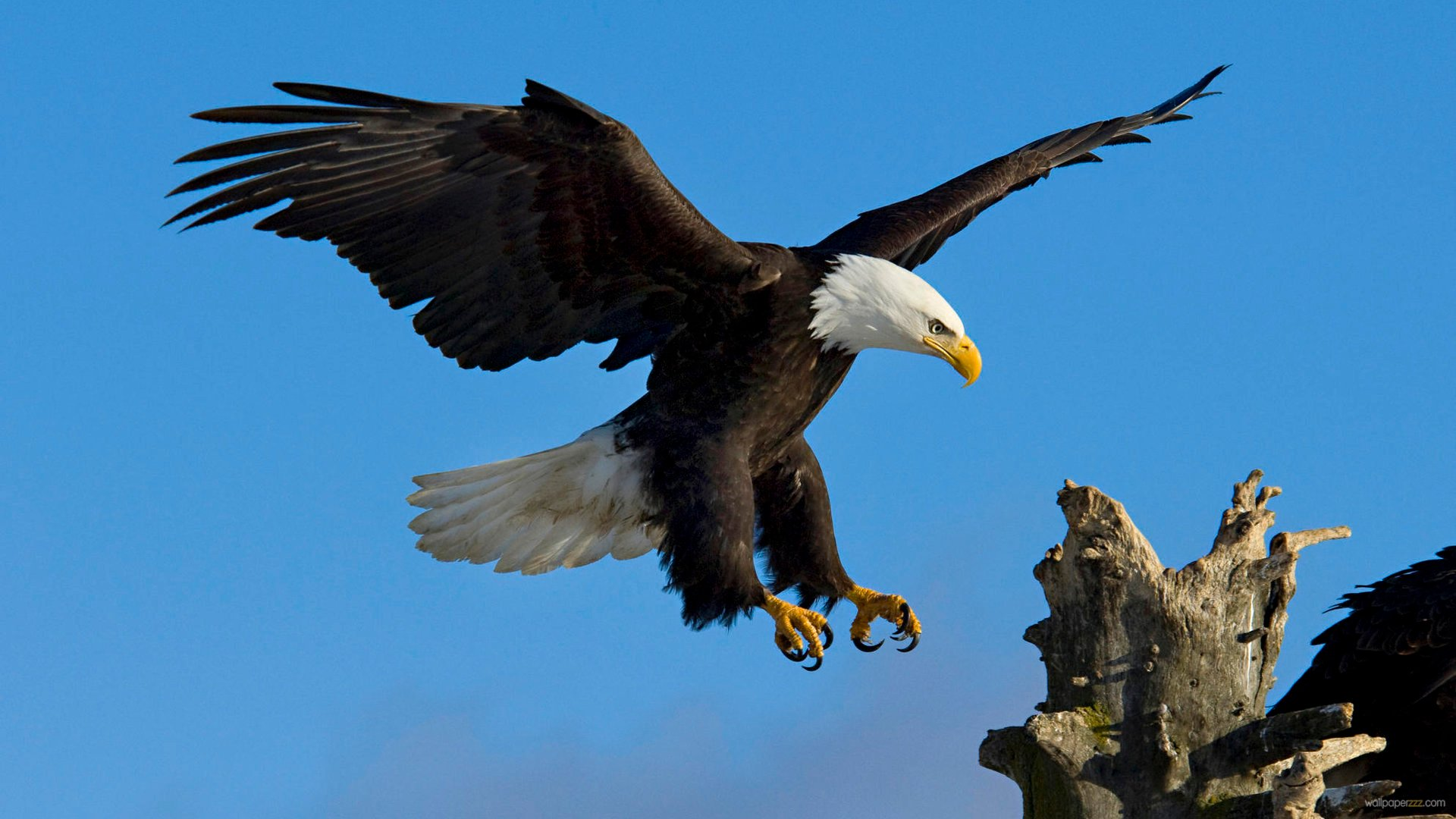 Eagle-13-Wallpaper-Background-Hd